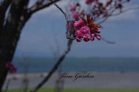 八重桜170419