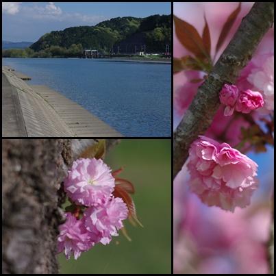 田舎の桜10425