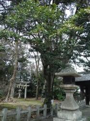 膳所神社オガタマノキ