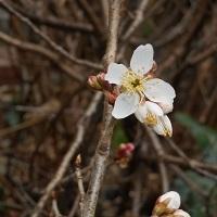 ②プチサクランボの花