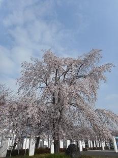 ふるさと館の枝垂桜①