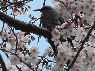 鴻巣公園の桜③20160401
