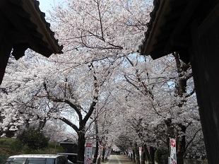 勝願寺の桜①20160401