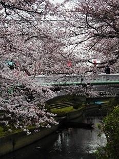 元荒川の桜②