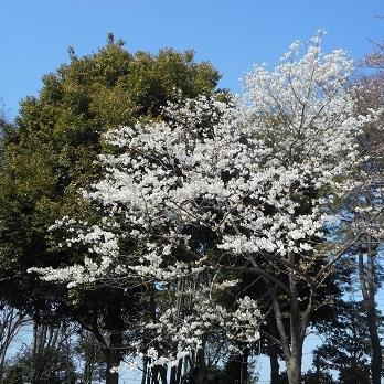 白色の桜の花