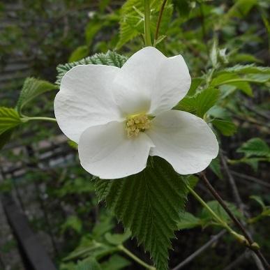 ヤマブキの白い花 20170411