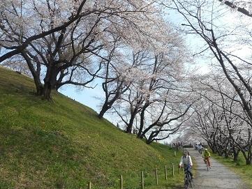 ②さきたま古墳公園の桜