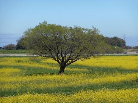 ⑦菜の花と何の木