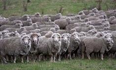 迷える羊の群れ