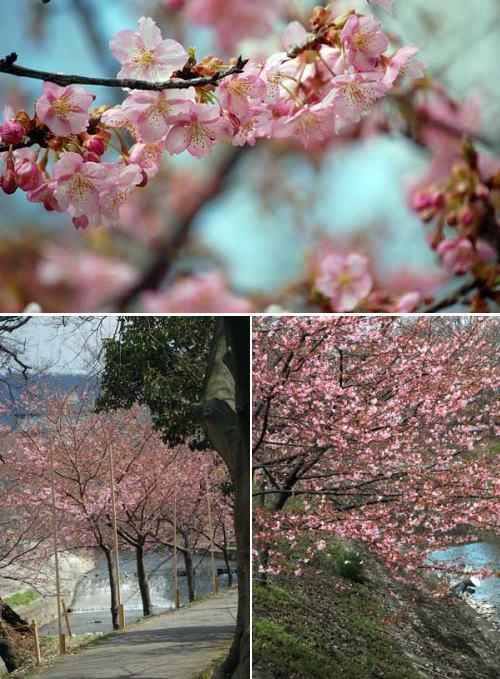 170308河津桜