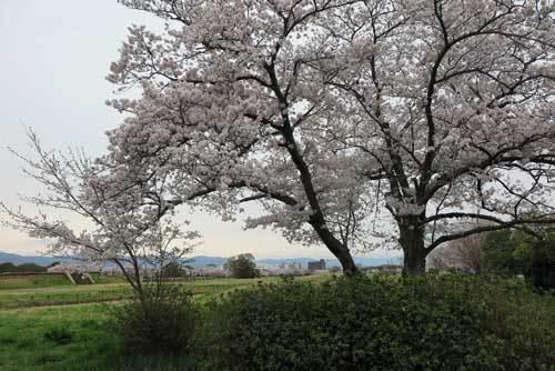 170410平城宮跡桜