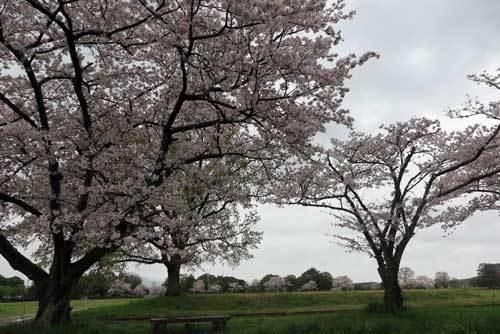 170411平城宮跡桜