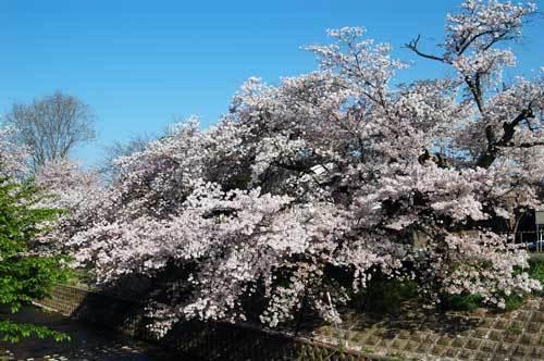 170413川路桜