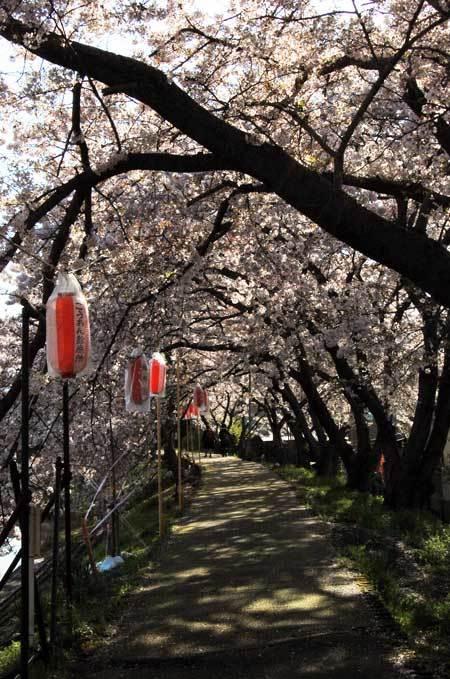 170413桜トンネル