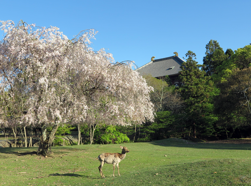 170423おかっぱ桜