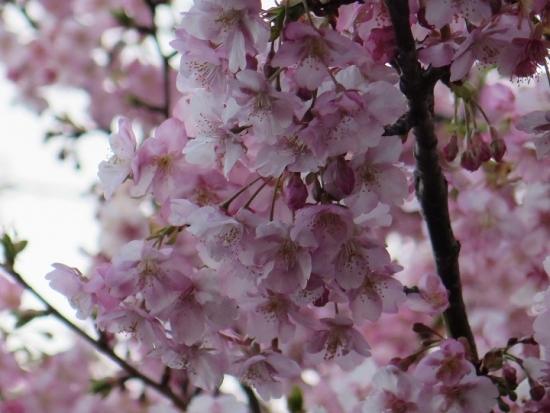 河津桜かな?