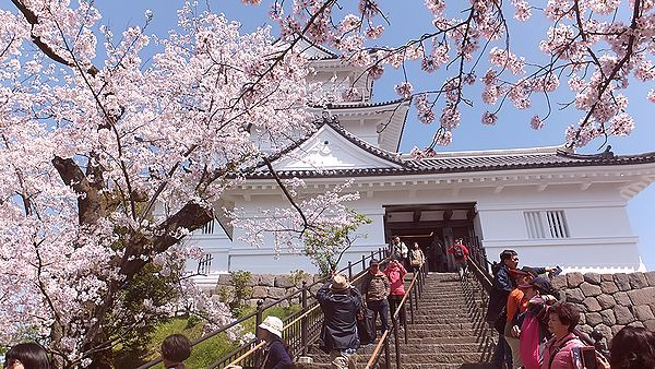 小田原城さくら3