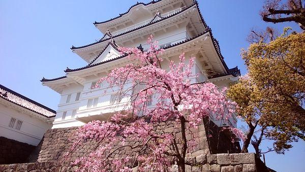 小田原城さくら2