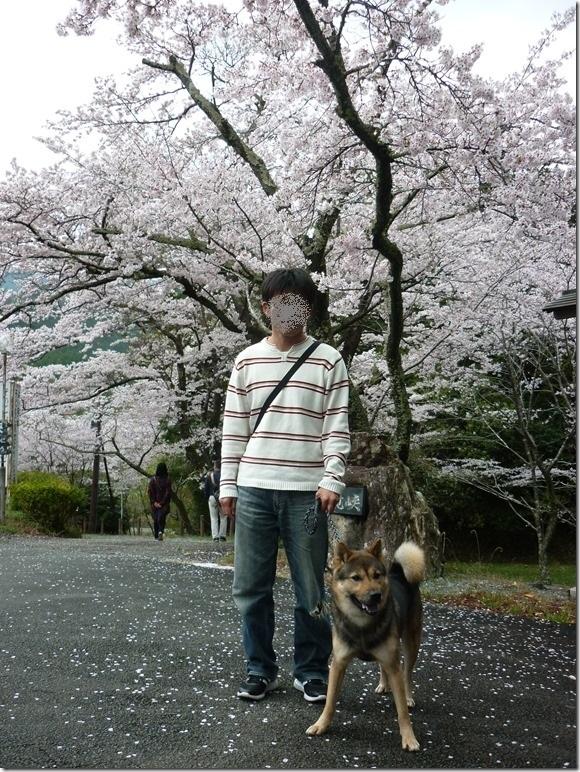 201704桜01-01
