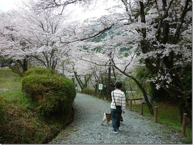 201704桜01-07