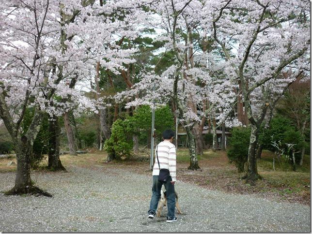 201704桜01-13