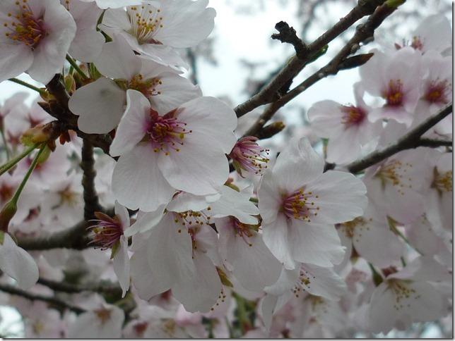201704桜01-14