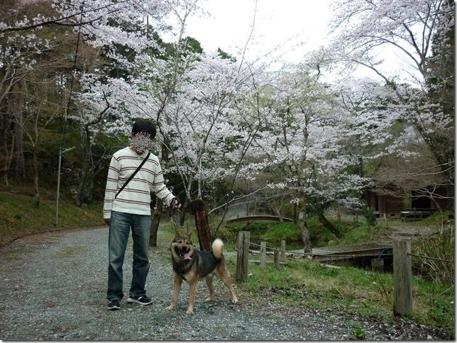 201704桜02-01