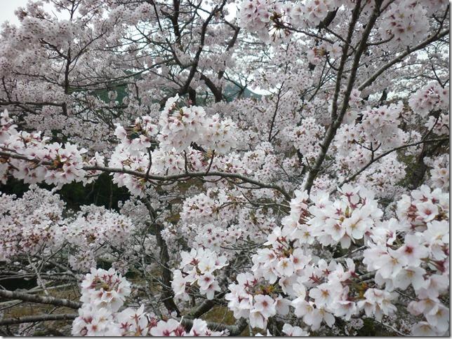 201704桜02-02