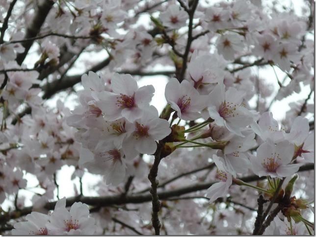 201704桜02-21
