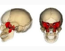 sphenoid-bone-153339DC85466E0DC4A[1]