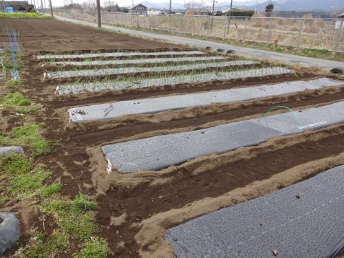 ジャガイモ、タマネギ 家庭菜園 シーズンイン