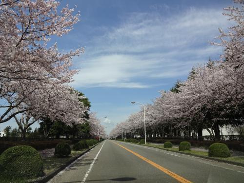 2017年4月 桜通り