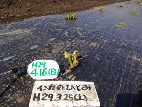 2017年 春ジャガイモ 芽が出ました