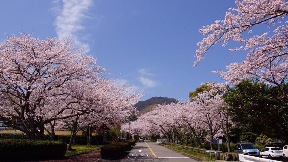別府市大平山の桜 - 2