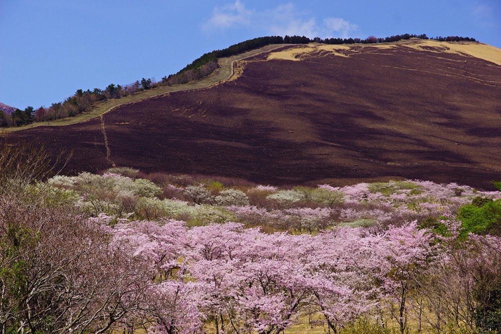 別府市大平山の桜 - 4
