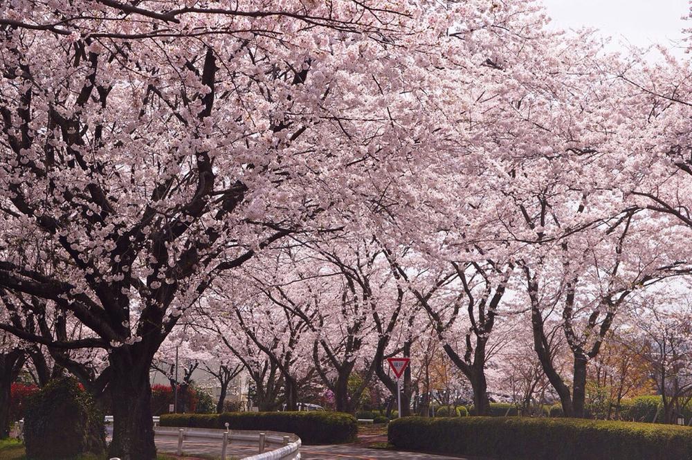 別府市大平山の桜 - 3