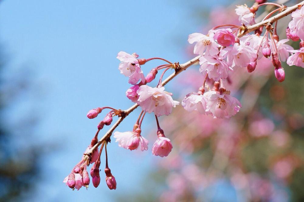 枝垂れ桜4月23日-1