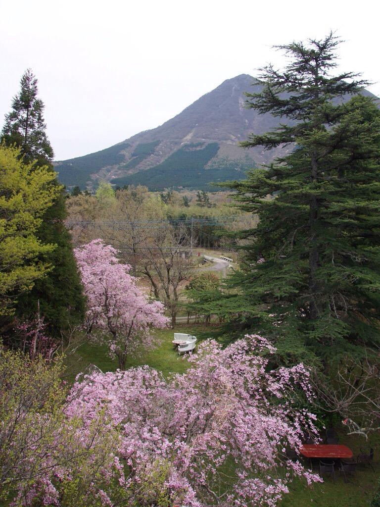 枝垂れ桜4月23日-3