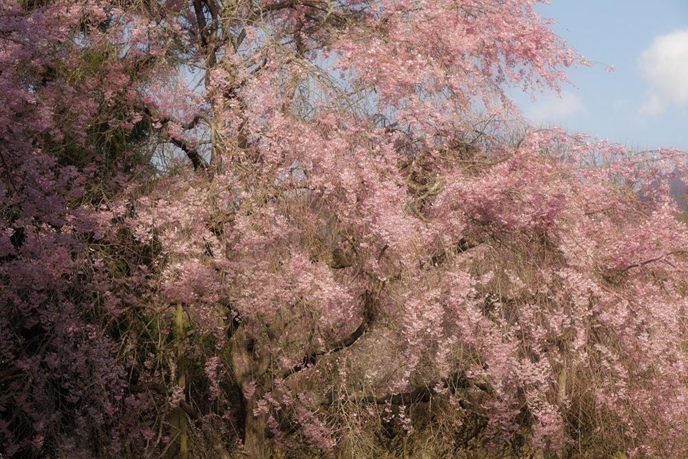 枝垂れ桜4月23日-4