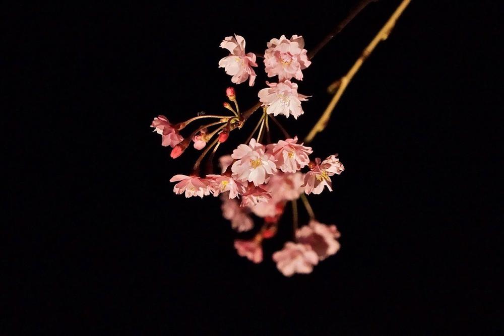 枝垂れ桜4月23日-5