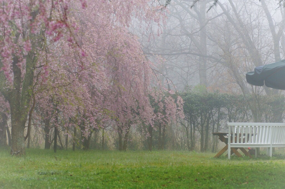 枝垂れ桜4月23日-6