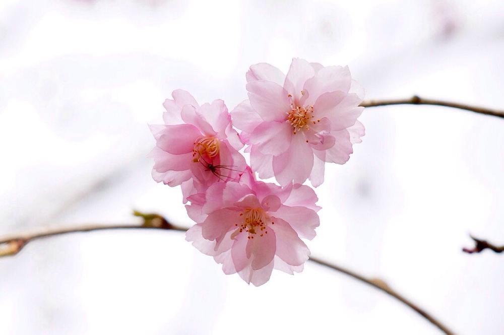 枝垂れ桜4月23日-7