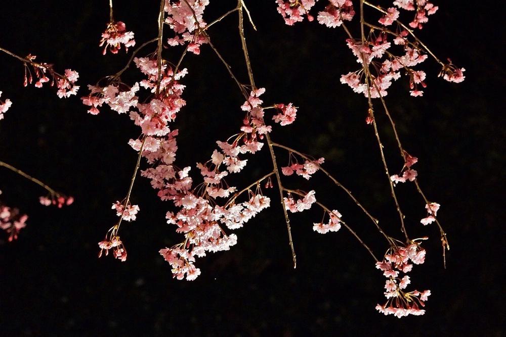 枝垂れ桜4月23日-9
