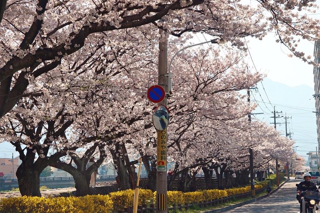 別府市境川の桜1
