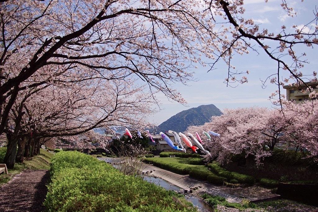 別府市境川の桜5