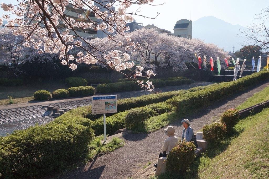 別府市境川の桜3