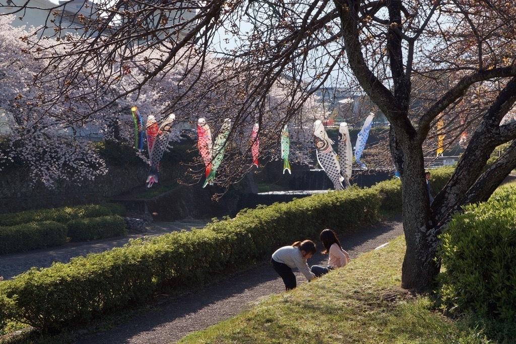 別府市境川の桜4