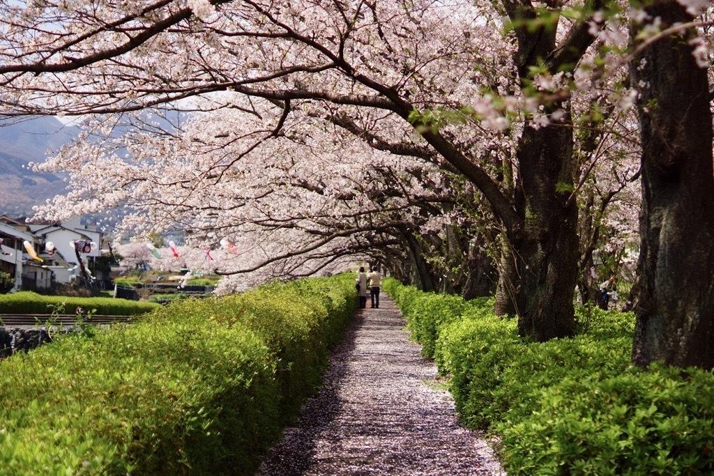 別府市境川の桜7