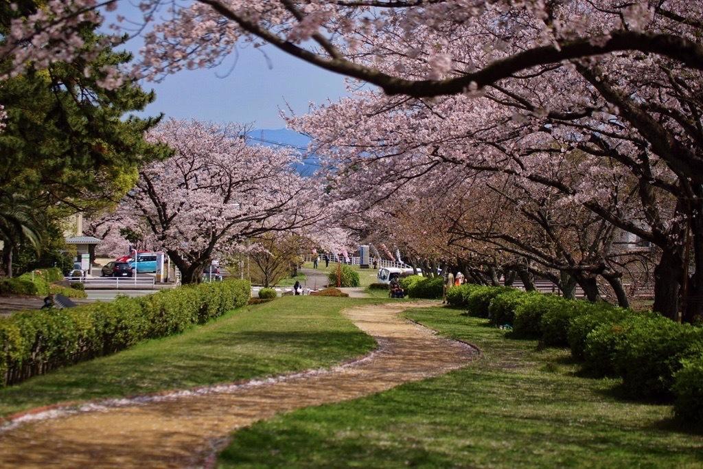 別府市境川の桜2