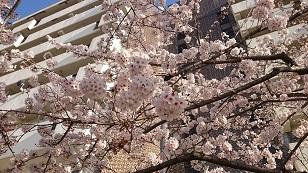 170415団地の桜